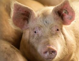 Executieveiling van 6044,3 varkensrechten